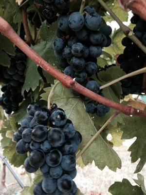 Carignan at Cobb Family Vineyard